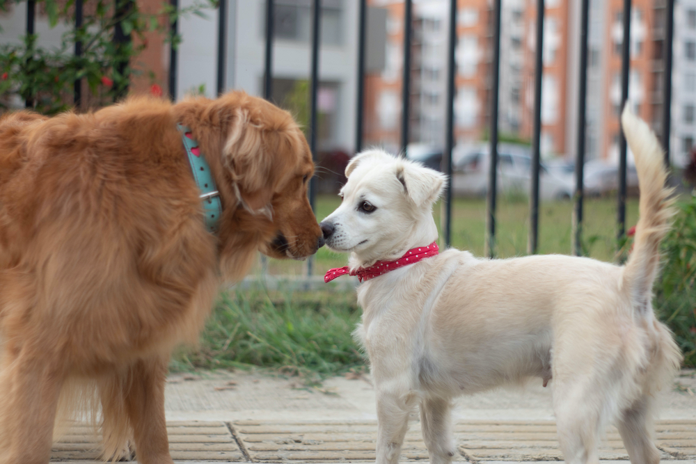 Stérilisation chienne